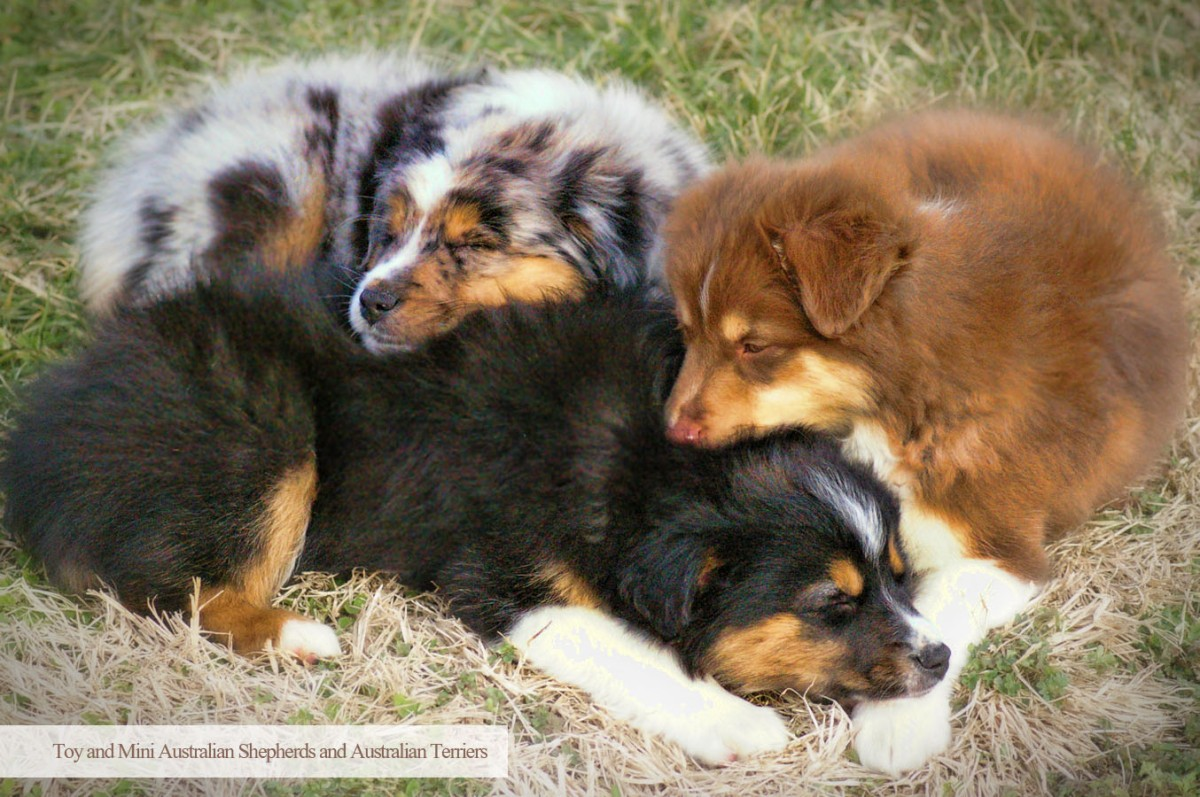 Spring Valley Aussies | Breeders of Toy and Mini ...